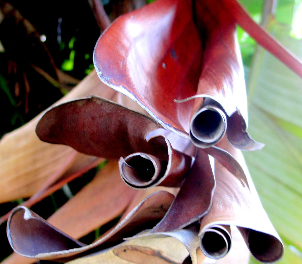 IMG_7373Couldnt help myself here.  This is the very end of the dead leaf of the Streletzia Loved the scrolls by 777margo