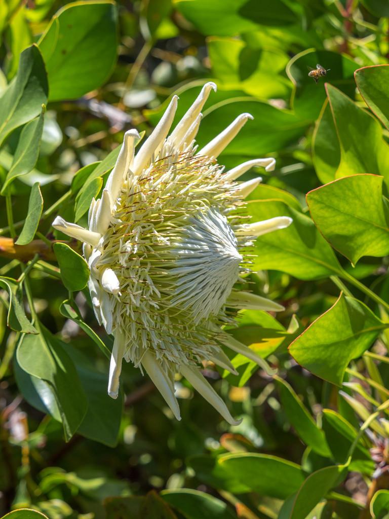White King Protea flower by gosia