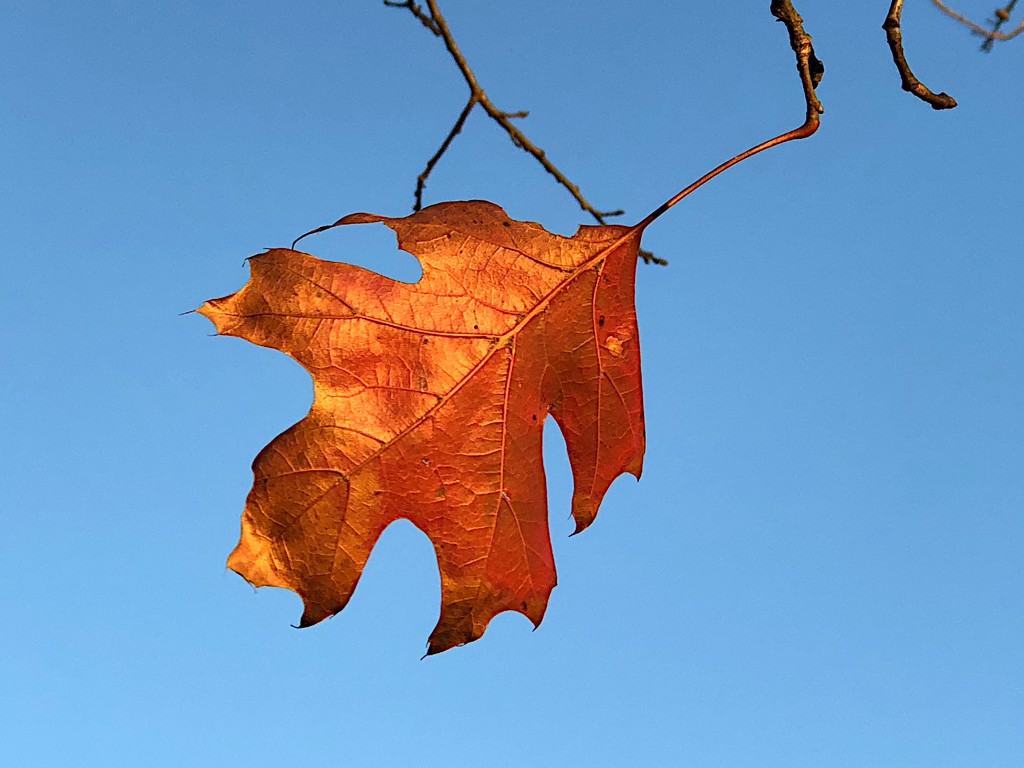 Last Autumn leaf by congaree