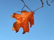24th Jan 2021 - Last Autumn leaf