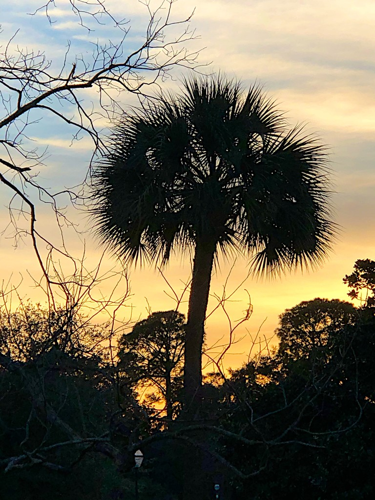 Palmetto and sunset at the park by congaree