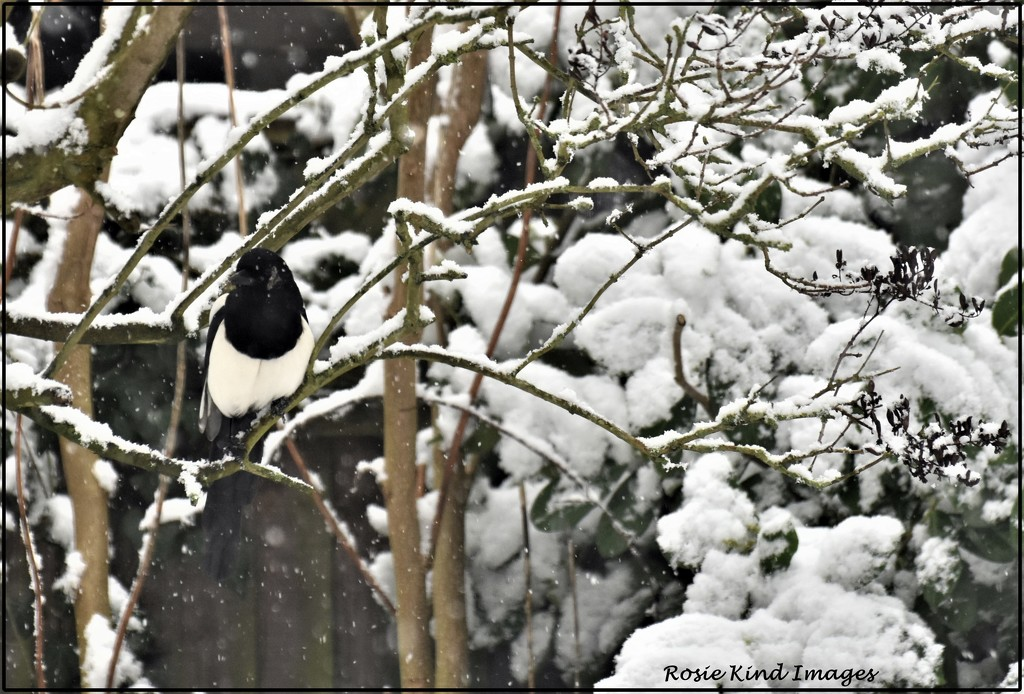 Even the magpie visited by rosiekind