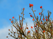 24th Jan 2021 - Red Berries and Blue Sky