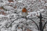 24th Jan 2021 - My little robin