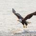 Bald Eagle in Flight Mode