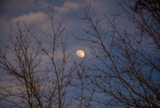 24th Jan 2021 - Moon in the trees...