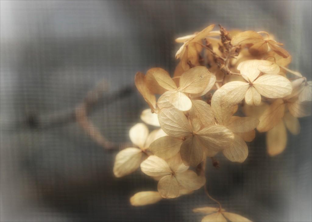 Dreamy Hydrangea by olivetreeann