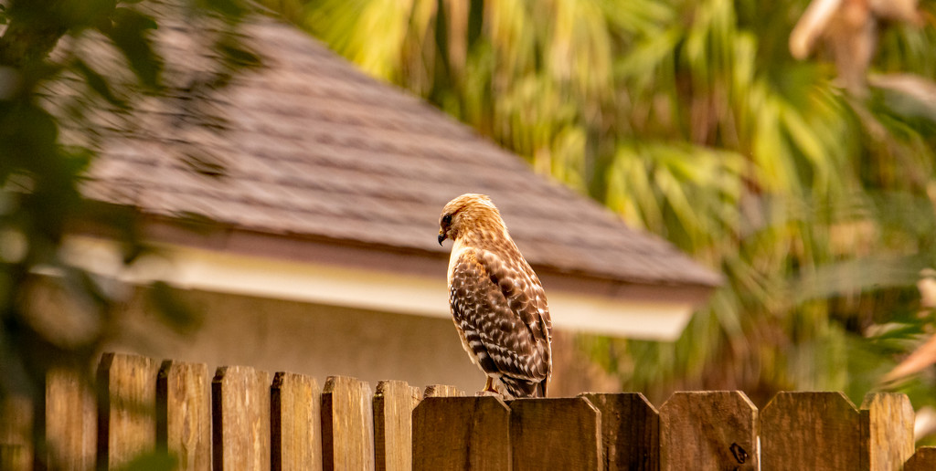 Red Shouldered Hawk in the Neighborhood! by rickster549