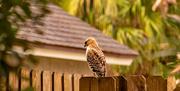 24th Jan 2021 - Red Shouldered Hawk in the Neighborhood!