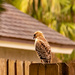 Red Shouldered Hawk in the Neighborhood!