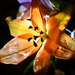 Lighted Lily