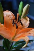 24th Jan 2021 - Orange Lily