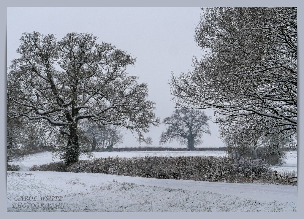 Snowy Trees,Althorp by carolmw