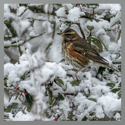 25th Jan 2021 - Redwing