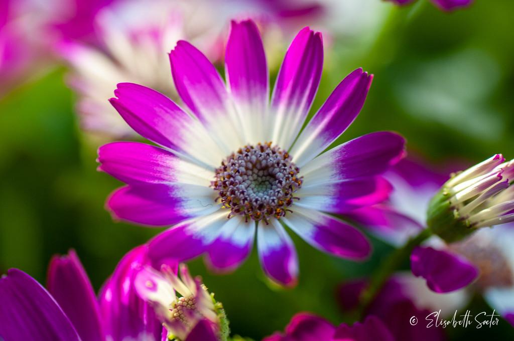 Chrysanthemum by elisasaeter