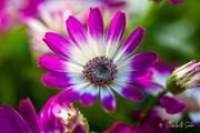25th Jan 2021 - Chrysanthemum
