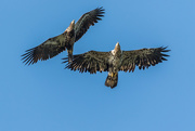 25th Jan 2021 - Two Immature Bald Eagles