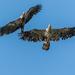 Two Immature Bald Eagles