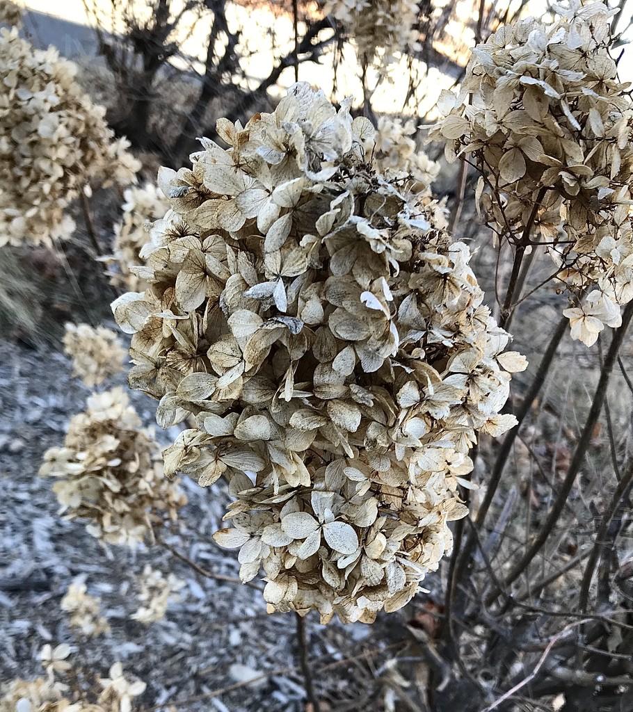 Hydrangea in winter by mjmaven