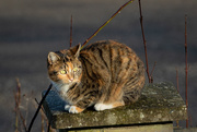 25th Jan 2021 - Cat on the fence