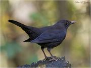 25th Jan 2021 - Blackbird