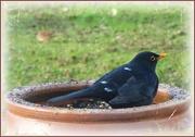 26th Jan 2021 - blackbird