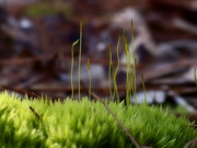 26th Jan 2021 - Cushion moss gone to seed...