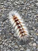 26th Jan 2021 - Very Furry Caterpillar ( on the road )
