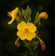 18th Jan 2021 - Evening primrose