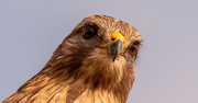 25th Jan 2021 - Red Shouldered Hawk Up Close!