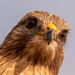 Red Shouldered Hawk Up Close!