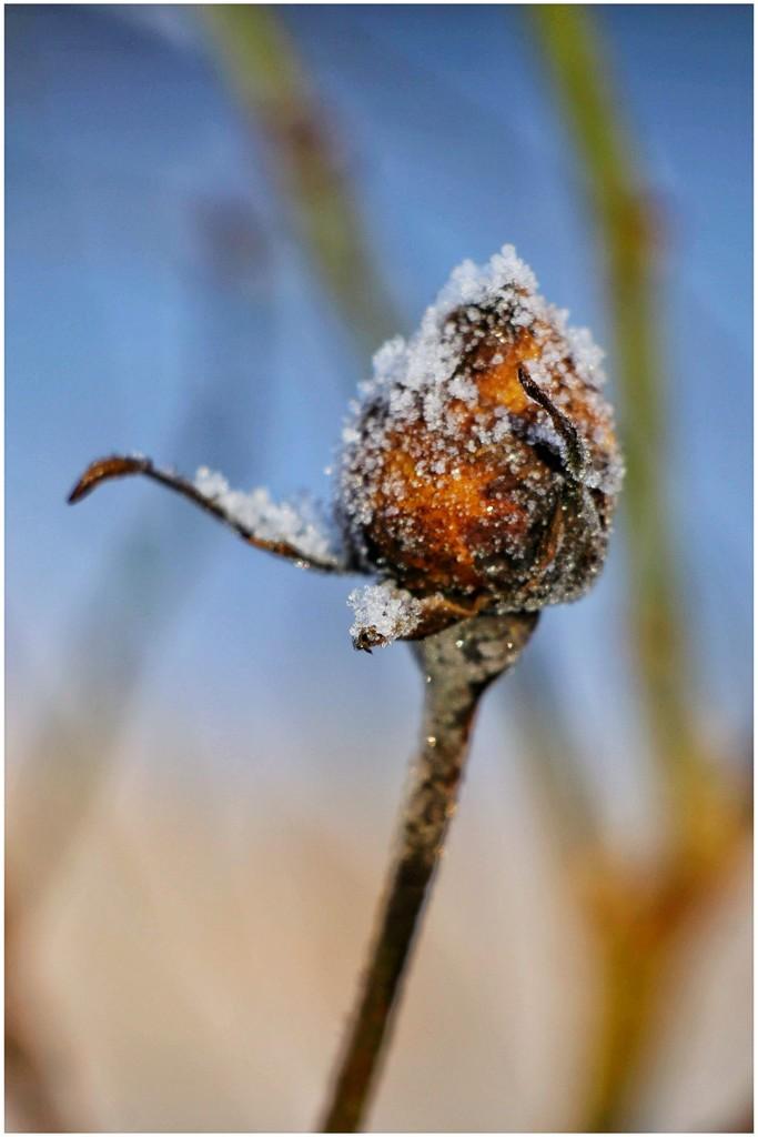 Frosty bud by lyndamcg