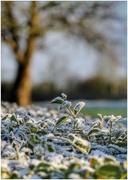 26th Jan 2021 - Frosty hedge