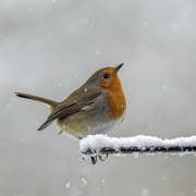 26th Jan 2021 - Robin