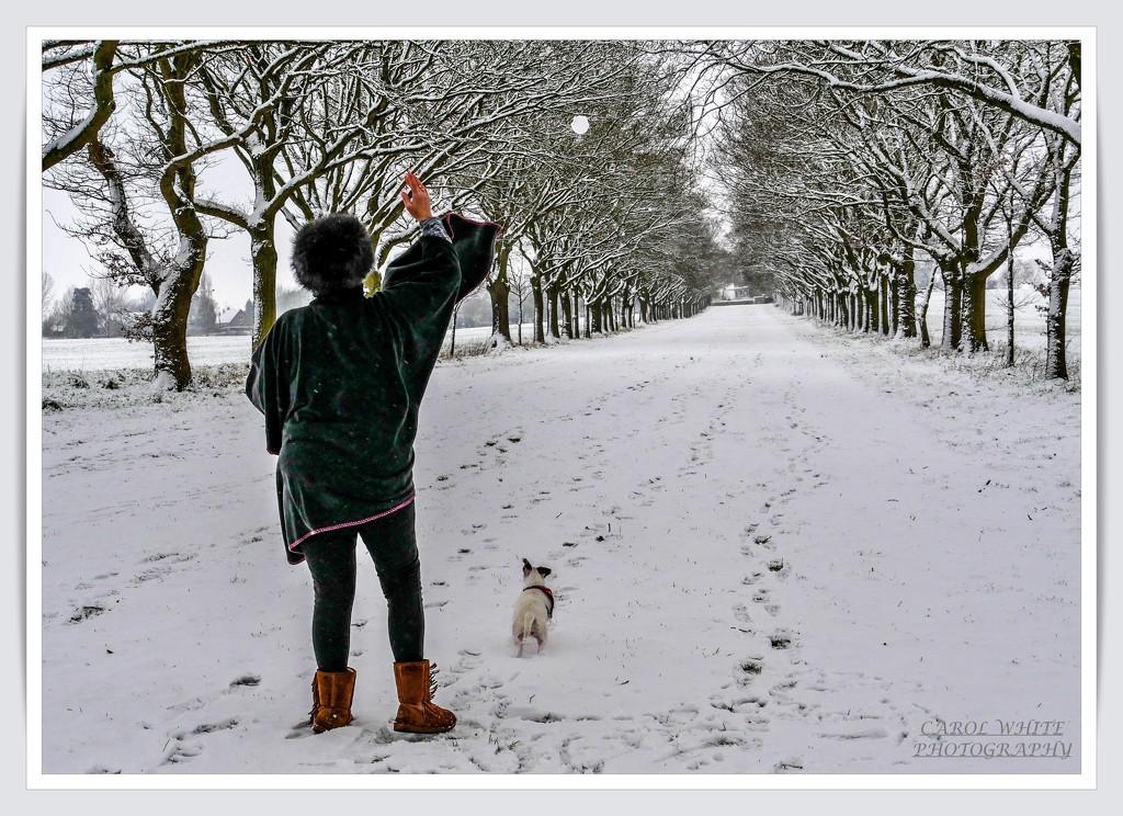 Daisy Chasing A Snowball by carolmw