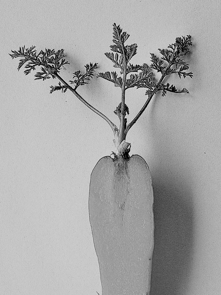 Sliced carrot, in the style of Karl Blossfeldt by etienne