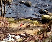 26th Jan 2021 - Mr. Cardinal amongst some Sparrows