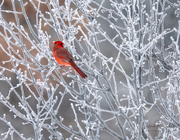 25th Jan 2021 - Frost + Male Cardinal = Love