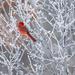 Frost + Male Cardinal = Love by dridsdale