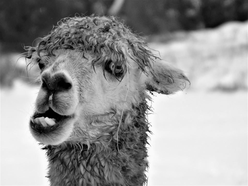Meeting with the 'Doo-la-lay Llama'! by ajisaac
