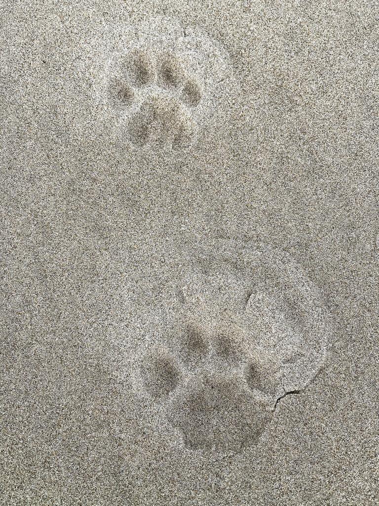 Cougar Tracks by jgpittenger