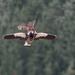 Falcon attacks a drone