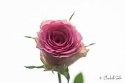 26th Jan 2021 - Pink rose