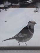 26th Jan 2021 - Pied wagtail, I think.