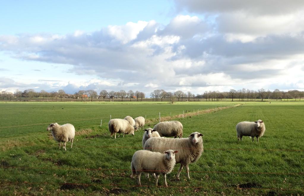 inquisitive sheep by gijsje