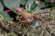 26th Jan 2021 - TEENY TINY GOLDCREST