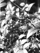 27th Jan 2021 - Nandina berries...