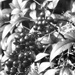 Nandina berries...