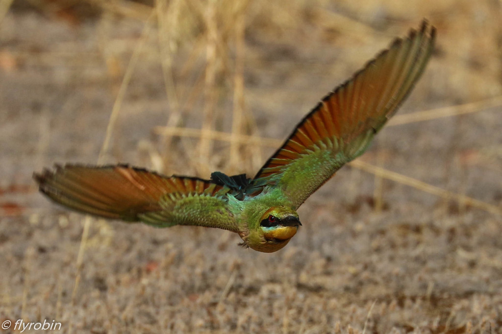 Rainbow Bee-eater flight by flyrobin