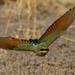 Rainbow Bee-eater flight